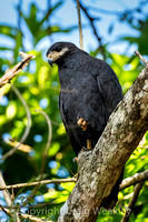 Black Mangrove Hawk