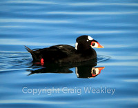 Scoter Reflecting